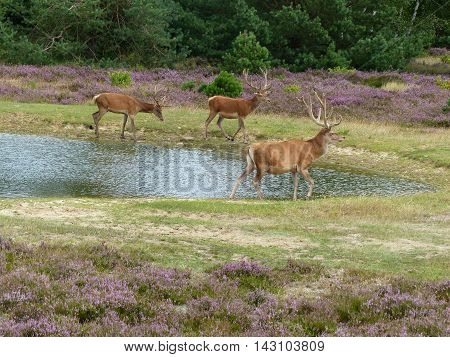 Red deer stags (cervus elephus) walking along the edge of a small pond
