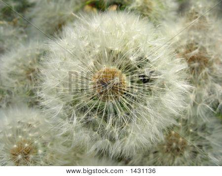 Blow-Flower