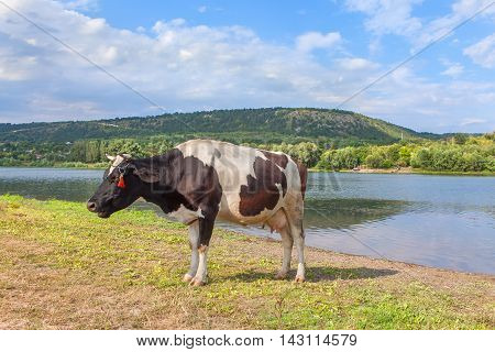 black and white colored cow mooing on the riverside