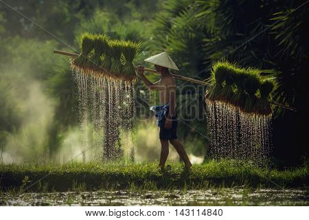 Farmers carrying seedlings in rice farm, Vietnam