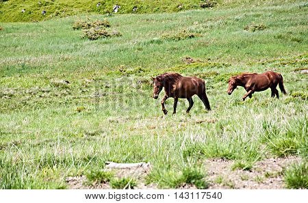 Two grazing horses at summertime on the feald