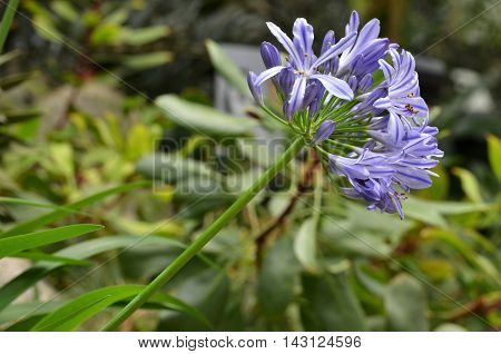 Flowers Of The Agapanthus