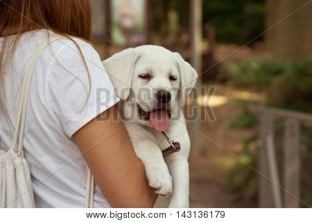 Labrador retriever dog on the arm with his tongue hanging out - Lazy Sweet Dog