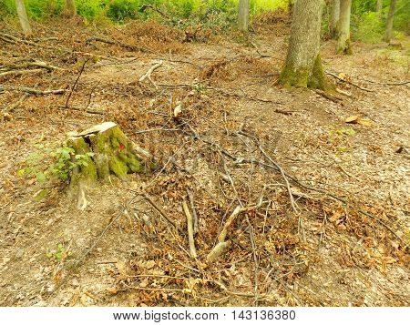 Tree stump after wood exploitation in deciduous forest