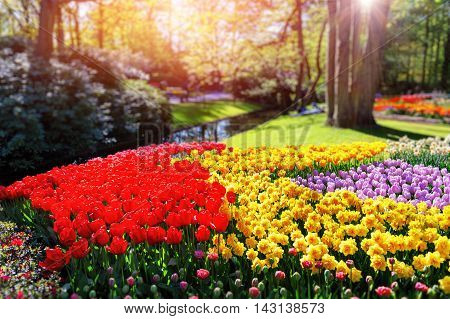 Flower bed with multicolor tulips and daffodils. Nature background