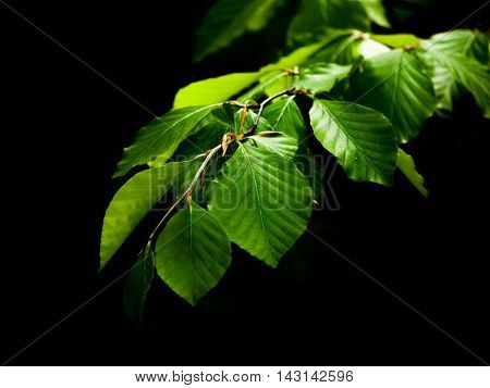 Green lush beech leaves on dark background. Spring theme. Shallow depth of field.