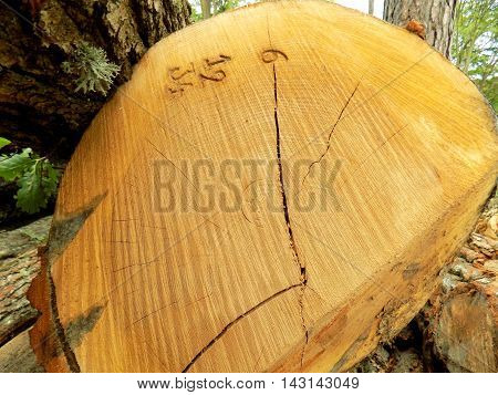 Numbered identified wood log in deciduous forest during wood exploitation