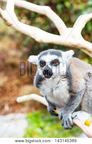 Cute cunning Ring-tailed lemur aka Lemur catta  on the branch showing tongue and smiling, close up portrait with copy space