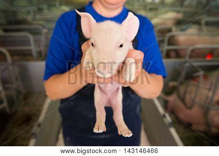 Pig at a factory. Farming. Little piggy