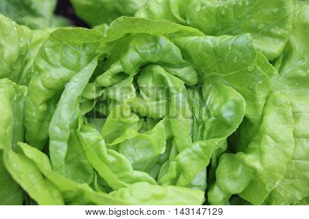 Fresh Butterhead Lettuce with raindrops in the Garden