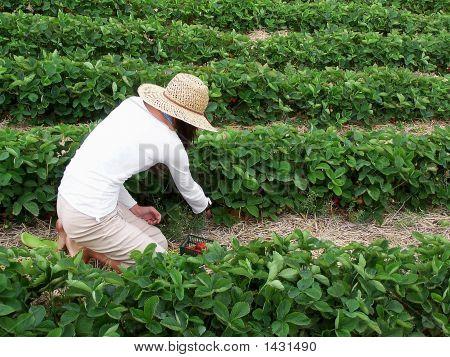 Woman Picking Strawberries102_1488 Copy