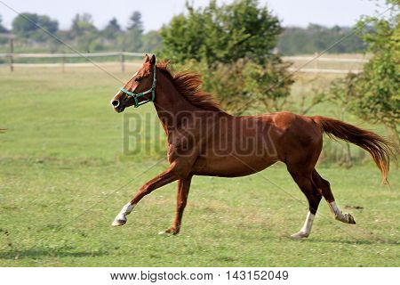 Chestnut mare canter very fast on summer pasture