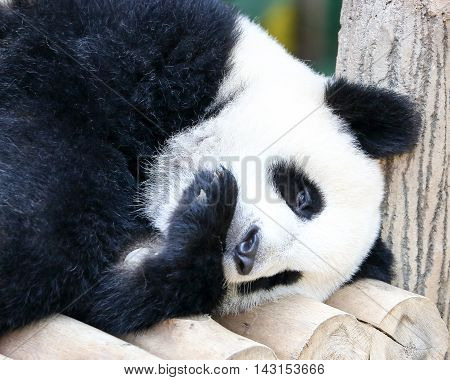 Baby Giant Panda Bear Playful Cute adorable outdoor daylight
