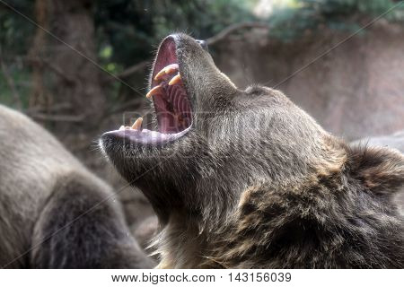 Head of grizzly bear growling