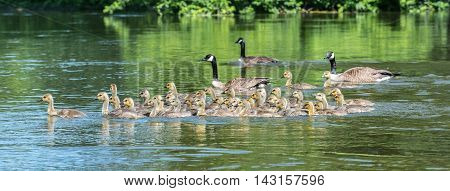 Canada geese are natural babysitting parents.   The birds bring their goslings together in flocks often referred to as creches.  It's like a big kindergarten with the adults sharing babysitting chores.