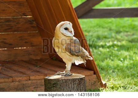 Barn Owl in captivity - in Latin Tyto Alba -sitting on a tree stump. Closeup of captive barn owl in sunny weather. Selective focus at the owl eyes.