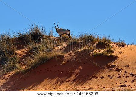 A Gemsbok (oryx Gazella) In Namibia, Africa