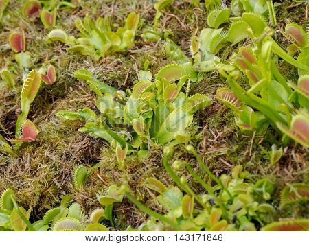 Dionaea muscipula, also known as venus flytrap, carnivorous plant assortment, green colors