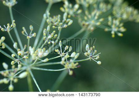 Seed on a Fennel plant (Foeniculum vulgare)