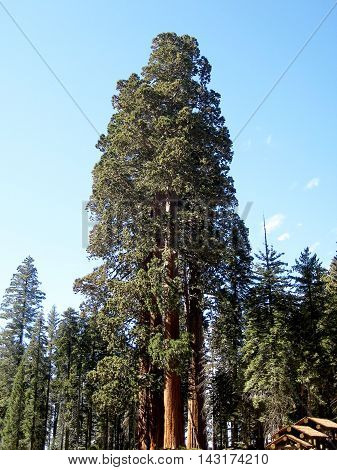The Sentinel Sequoia tree at the Giant Forest Museum at Sequoia National Park (California, USA)