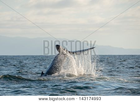 A happy humpback whale splashes his tail