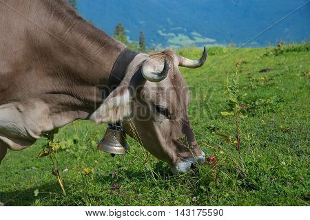 Portrait Of A Grazing Brown Milker With Cowbell