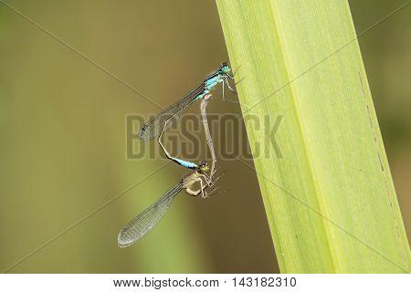 Mating Wheel of Blue-tailed Damselfly (Ischnura elegans) resting on a leaf