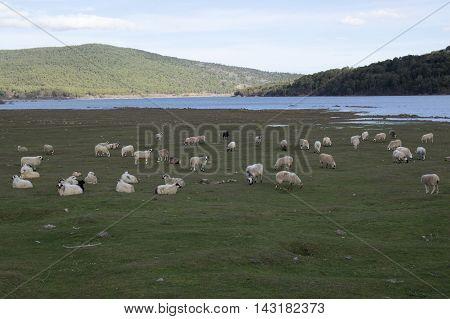 Sheep in Vinuesa in Soria, Castilla leon, Spain