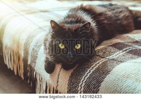 Lazy autumn weekend concept. Portrait of beautiful black male cat looking at camera, relaxing home on a warm plaid blanket sofa, background with soft shine. Fall, winter season.