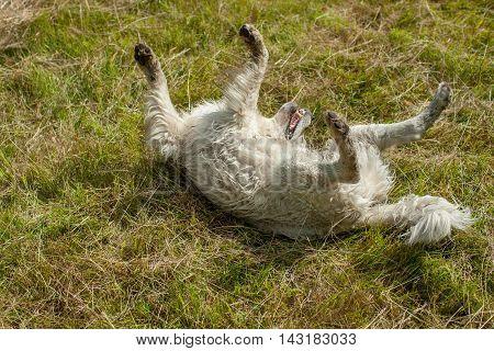 Fluffy Retriever On Grass