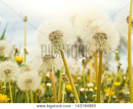 spring background with white dandelions flowers on field