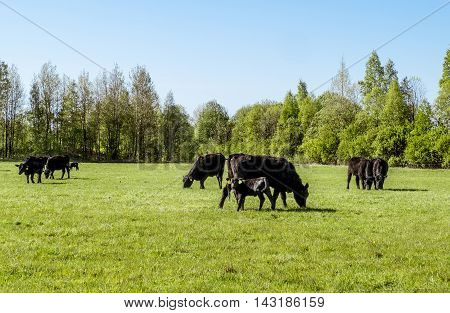 A herd of cows breed black Angus grazing in a green field on a Sunny summer day