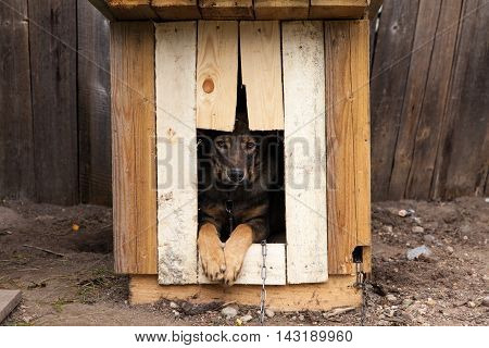 Sad chained dog looking from its wooden house