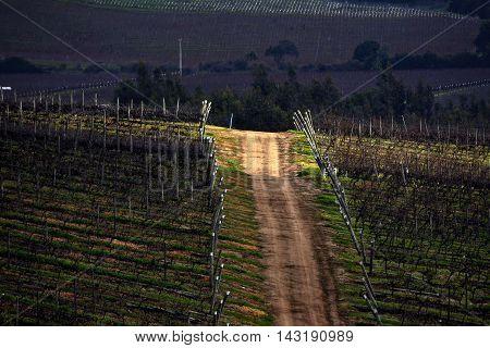 Vineyard in Casablanca valley, in Valparaiso, Chile.