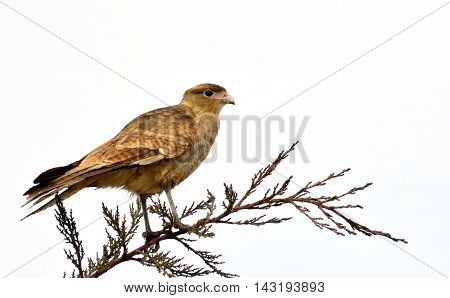 The tiuque or chimango caracara (Milvago chimango) is a species of bird of prey in the Falconidae family. It is found in Argentina, Brazil, Chile, Paraguay and Uruguay. The chimango is found as far south as Tierra del Fuego and is a vagrant to the Falklan