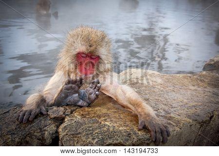 Japanese snow monkey bathing in steamy pool near Nagano, Japan