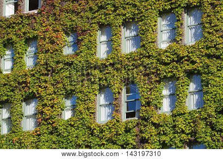 Vines covering the side of a building with windows.