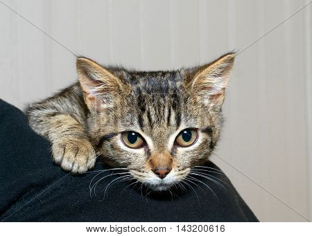 gray and black striped tabby kitten clinging to the shoulder of person nervous and afraid feeling somewhat secure being held by a person.
