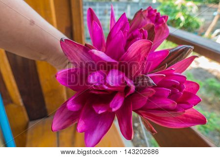 nymphaea pubescens on woman hands in thai
