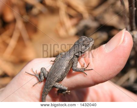 Northern Fence Lizard