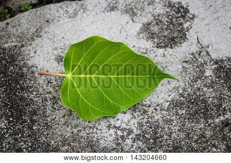 Bodhi or Peepal. Leaf Bodhi Drop on concrete