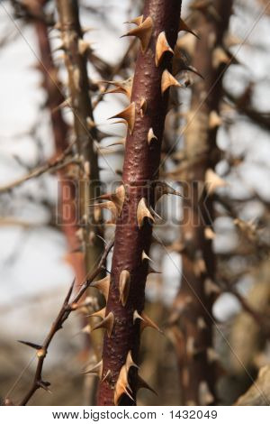 Close Up Of Thorns On A Bramble (Blackberry Bush).