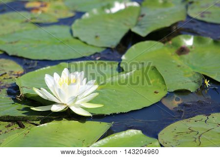 Single lily flower and lily pads in Lake Champlain, New York