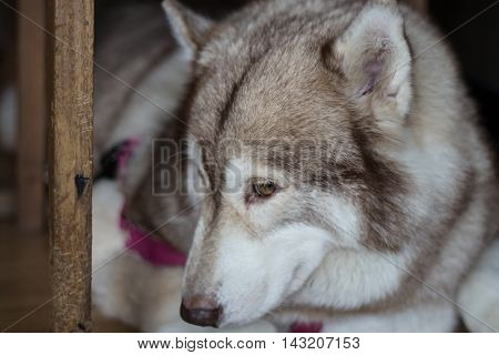 Sadness Dog Siberian Husky was waiting for his owner.