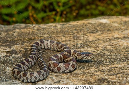An Eastern Milk Snake crawling over a rock in the wild.
