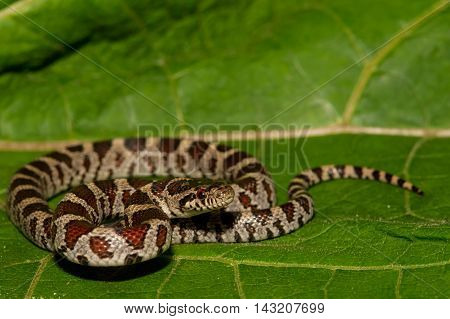 An Eastern Milk Snake isolated on a green leaf.
