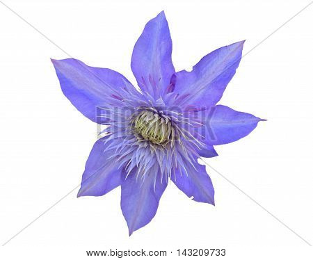 A close up of the flower clematis. Isolated on white.