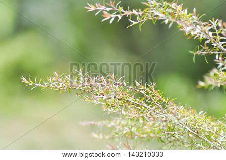 Melaleuca bracteata or weeping willow plant in the garden
