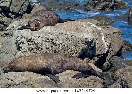 Lazy Seals Sleeping On The Rock At Kaikoura, New Zealand