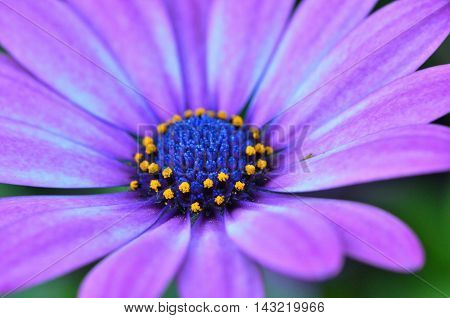 Macro beautiful flower with purple petals and a large core of the unusual